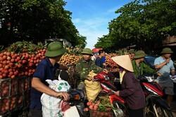 فصل برداشت لیچی در ویتنام