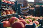 ۴۵۶ هزار تن محصول از باغات زنجان برداشت شده است