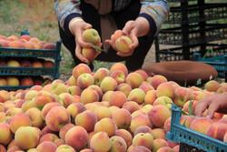 Harvesting peach, nectarine trees in N Iran