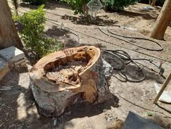 معمای قطع مخفیانه درخت ۲۰۰ ساله باغ تاریخی و جهانی فین کاشان