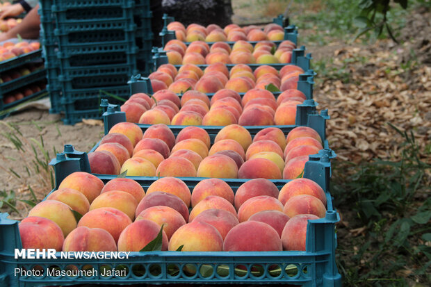 Harvesting peach, nectarine trees in N Iran