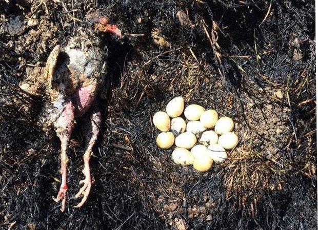 پرنده ای که برای دفاع از تخم هایش در آتش سوخت