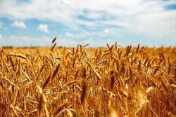 چرا اصلاح قیمت گندم یک ضرورت اجتنابناپذیر است؟/ صرفهجویی حداقل ۳۰ درصدی در هزینه دولت