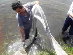 ۷۰۰ هزار بچه ماهی در منابع آبی  خرمشهر رهاسازی شد