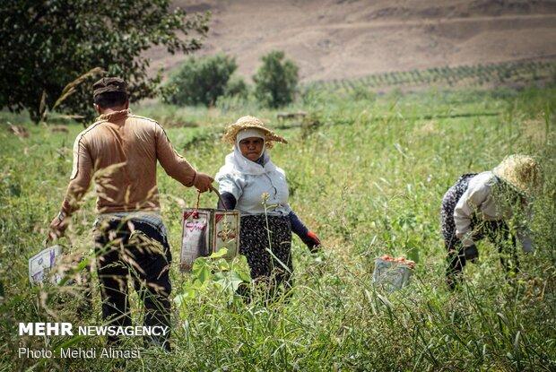 محصولات زراعی هندوستان ایران