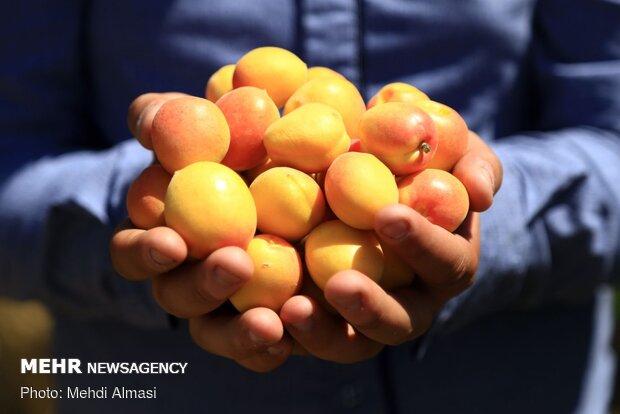 ضرورت صدور تولیدات کشاورزی از میانه به اتحادیه اروپا