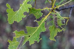 آفت پروانه دم قهوهای بلای جان جنگلهای ارسباران