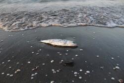 لاشه تک شاخ ماهیان در نوار ساحلی جزایر هرمزگان مشاهده شد