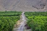 احداث ۶۱ هزار هکتار باغ در اراضی شیبدار/ ۲۰ هزار شغل ایجاد شد
