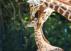 تولد زرافه در حال انقراض در باغ وحش برلین
