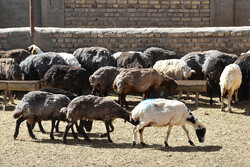 تلف شدن ۱۰۰ رأس گوسفند در هلیلان