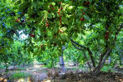 یک چهارم باغات لرستان با تنوع ۲۰ محصول در بروجرد واقع هستند