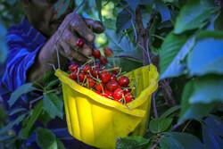 برداشت محصول گیلاس دراصفهان ۱۰ درصد افزایش یافت