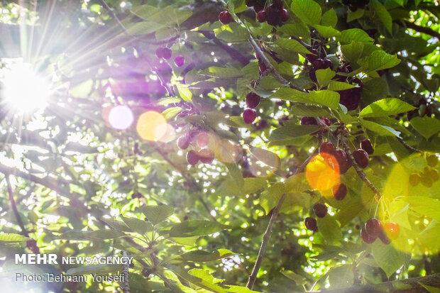 İran'da vişne ve kiraz hasadı başladı