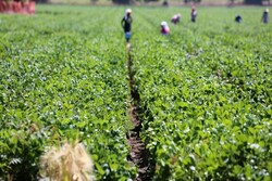 Agricultural sector boosts economic growth in sanctions period: Khavazi