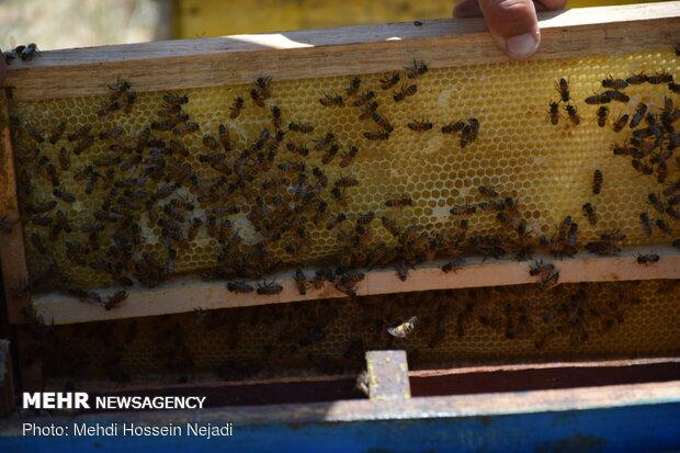 Producing honey in Heyran pass NW Iran