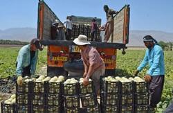 Harvesting cantaloupe on fields in Gerash, Fars province
