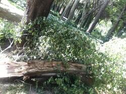 عدم تداوم جریان زاینده رود از عوامل سقوط درختان در اصفهان است/میراث طبیعی اصفهان در خطر نابودی