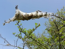 مراقب آفت «برگ خوار» پشم آلود باشید/ بیماریهای پوستی در کمین است