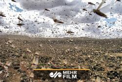 هجوم گسترده ملخها در برزیل