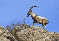 مجازات سنگین برای شکارچیان یک رأس بزکوهی در شهرستان سلسله