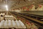 نرخ مصوبی برای تخم مرغ اعلام نشده است