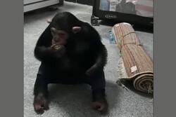 بازگشت شامپانزه معروف به مجموعه ارم