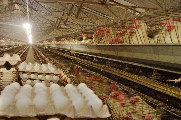 توزیع تخم مرغ با قیمت مصوب از امروز آغاز شد