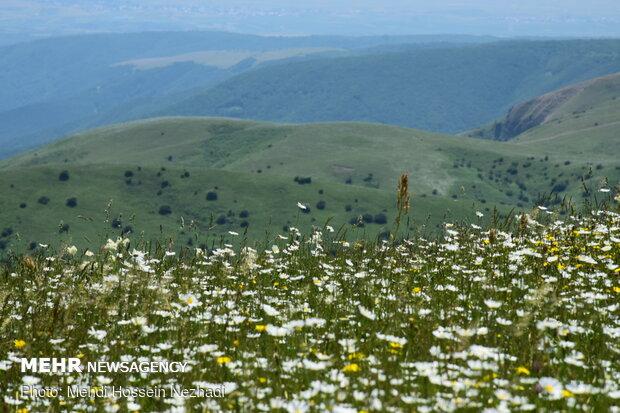 Chamomile plain in Ardebil's Fandoqlu