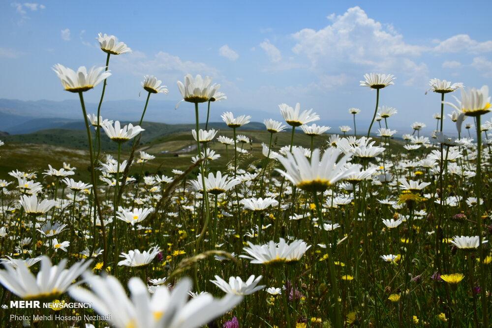 عطر گل های بابونه در جنگل فندقلو