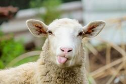 سایت و دامداری دامکالا، خرید گوسفند زنده از یک دامداری مکانیزه