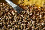 تولید عسل ٢٤ درصد افزایش یافت