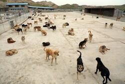 سگهای بلاصاحب بوشهر علیه بیماری هاری واکسینه شدند