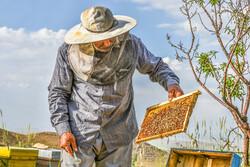 دلایل تلفات زنبورهای عسل اعلام شد/۳۰ تا ۵۵ درصد زنبورها تلف شدند