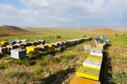 استان بوشهر ظرفیت تامین ملکه زنبور عسل خارج از فصل کشور را دارد
