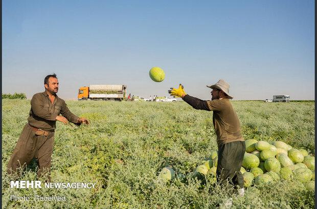 برداشت هندوانه در اربیل عراق