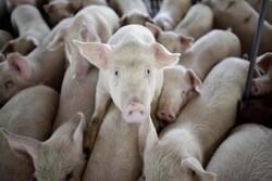 نوع جدیدی از آنفولانزای خوکی کشف شد/ احتمال یک همه گیری دیگر
