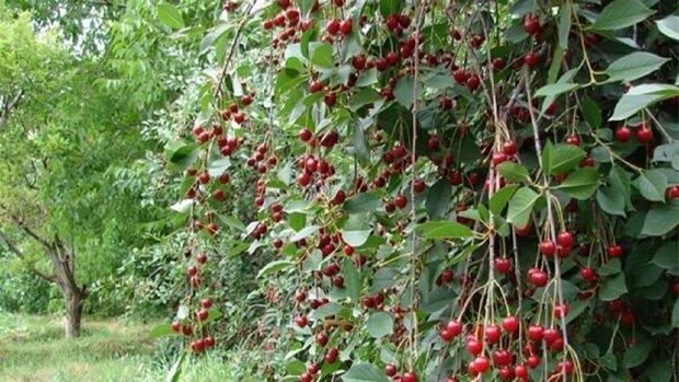 رشد ۱۰ درصدی برداشت محصولات باغی تابستانه در کرمانشاه
