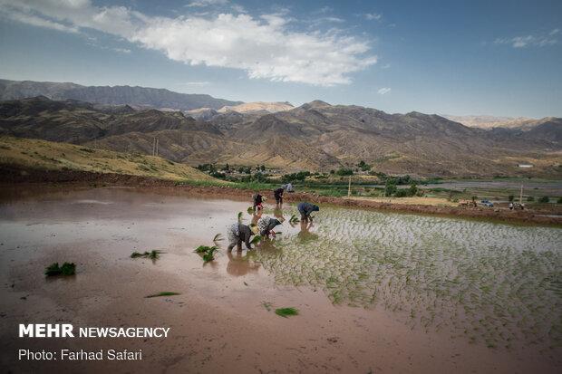 Rice fields in northern Iran