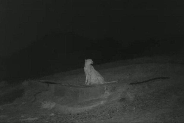 تصویر یک قلاده یوزپلنگ باردار در پارک ملی توران شاهرود ثبت شد