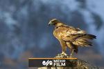 شکار یک کوسه توسط عقاب!
