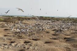 سلیمهای خرچنگخوار دوباره در جزایر استان بوشهر لانهگزینی کردند