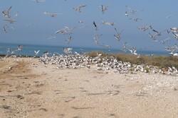 «نخیلو» بیشترین آمار لانهگزینی پرندگان در استان بوشهر را دارد