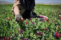 اراضی زیر کشت گیاهان دارویی در چهارمحال و بختیاری افزایش می یابد