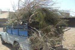 قاچاقچیان چوبهای تاغ ورامین در دام مأموران منابع طبیعی افتادند