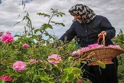 افزایش اشتغال و حذف واسطهها با فرآوری گلمحمدی در مزرعه