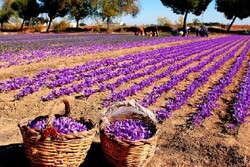 Saffron production vol. hits 15% growth: official
