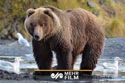 تعقیب و گریز خرسهای قهوهای در منطقه حفاظتشده البرز مرکزی