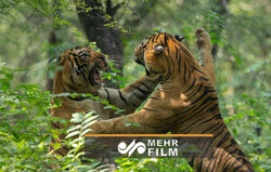VIDEO: Tigers fighting over territory