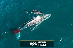 نهنگ ۸ متری طعمه کوسه خونخوار شد